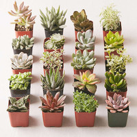 "Assorted 2"" Live Succulents - Set of 20 