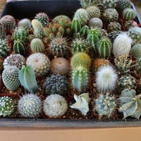 NINE (9)  Cactus Collection  Awesome for Party or Wedding Favors and Gifts cacti succulents table decor favor