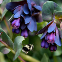 Cerinthe 4 Seeds. Fantastic easy to grow seeds! Hardy plants beautiful foliage and flowers excellent for various crafts!