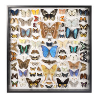 Museum Quality Insects Collection - Butterflies and Moths
