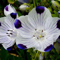 Nemophila Maculata Five Spot Flowers, 360 Seeds