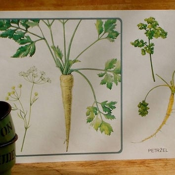 Vintage Botanical Poster, Parsley Root, Czech Herb Print, Garden Decor