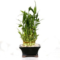 Brussel's Bonsai Pyramid Bamboo-DT-0139LBP2 - The Home Depot