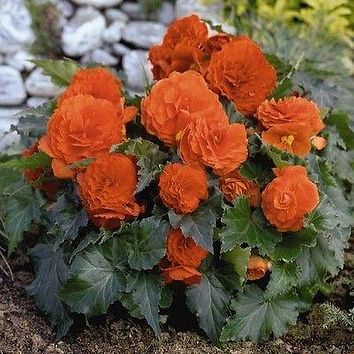 Begonia Double Orange Flower Seeds (Begonia Tuberosa) 30+Seeds