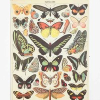 28x21 Butterfly Specimen Poster- Assorted One