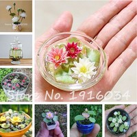 2017 Hot-sale!!!Hydroponic flowers small water lily seeds mini lotus seeds bonsai seeds set hydrophyte - 10 pcs seeds