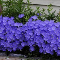 Bellflower Blue Flower Seeds (Campanula Carpatica Blue) 200+Seeds