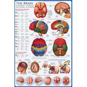 Anatomy of the Brain Neurology Education Poster 24x36