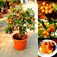 20pcs Fruit seeds Beautiful Miniature Kumquat seeds Fruit Bonsai Tree garden decoration Potted plants free shipping