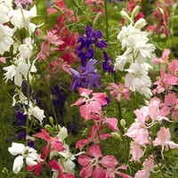Shop Seeds of Change Beauty Spire Mix Larkspur Organic Flower Seed Packet at Lowes.com