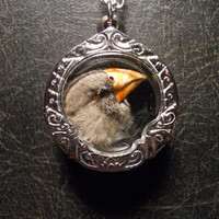 Taxidermy Trumpeter Finch Head Ossuary Necklace by TheCuriositeer