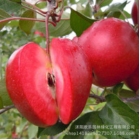 Apple red apple fruit love red meat, potted fruit trees can be planted fruit trees 10 Seeds/Pack