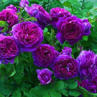 100 Purple Climbing Rose Heirloom Seeds Climber Climbing Flower Perennials Garden Home Decor Plants